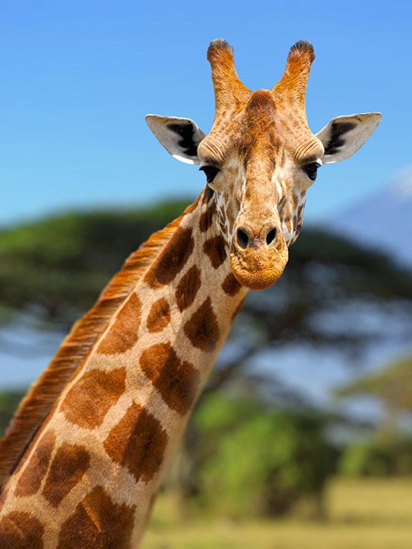 Kenya-safari image